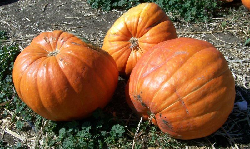 big pumpkin trio