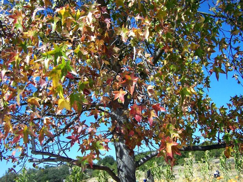 fall leaves tree